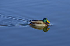 Mallard swimming. In a pond. Anas platyhynchos. Dabbling duck Royalty Free Stock Photography
