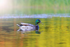 Mallard swimming at sunset on the forest lake with sunny hotspot. Wild bird in nature, hunting trophy hunting of ducks, birds in the park Royalty Free Stock Photography