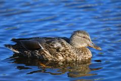 Mallard swimming in water. Mallard duck female swimming in water Stock Image