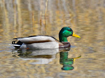 Mallard swims in the lake. In spring Royalty Free Stock Image