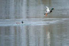 Mallard takes off. The male mallard takes off from river. Scientific name: Anas platyrhynchos Stock Image