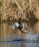 Mallard taking off Royalty Free Stock Photos