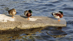 Mallard. Three mallards rest on the shore of the lake Royalty Free Stock Image