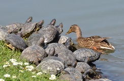 Mallard and turtles Royalty Free Stock Photo