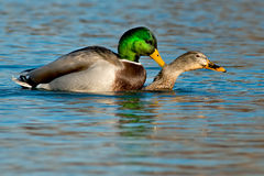 Mallard. Two Mallards mating in the open water Royalty Free Stock Image