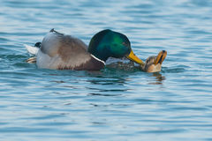 Mallard. Two Mallards mating in the open water Stock Image