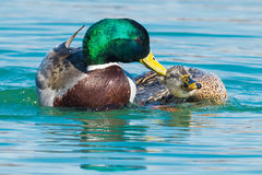 Mallard. Two Mallards mating in the open water Royalty Free Stock Photography