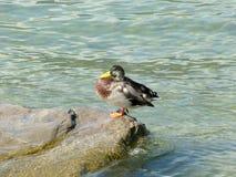 Mallard umieszczał na skale na wodzie Jeziorny Iseo, Brescia - Obrazy Stock