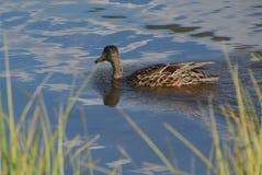 Mallard Up Close and Personal at Sprague Lake