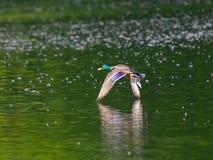 Mallard volant au-dessus du lac de vert vert Images libres de droits