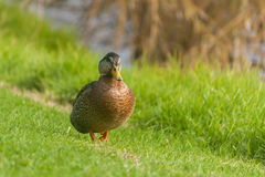 Mallard walking across lawn. Close up of female mallard walking across lawn Royalty Free Stock Photo