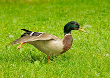 Mallard walking in grass. A funny pose of a mallard walking in green grass Royalty Free Stock Photography