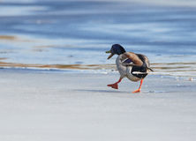 Mallard walking on ice. Mallard (Anas platyrhynchos) walking on the ice of a frozen lake in the spring Stock Photo
