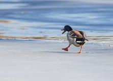 Mallard walking on ice Stock Photo