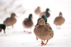 Mallard walking in the snow. A lot of ducks walking in the snow Royalty Free Stock Photos