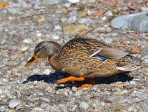 Mallard walking on the stones. By the lake Stock Images