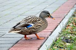 Close-up of the wild duck in the walkway Stock Photography