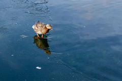 Mallard walking on water. On Lake Neuchâtel in Switzerland Stock Image