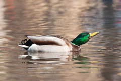 Mallard on water Royalty Free Stock Images