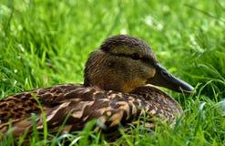 Mallard, Water Bird, Duck Stock Photos