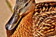 Mallard, Water Bird, Duck Royalty Free Stock Photography
