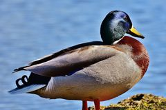 Mallard, Water Bird, Duck, Blue Royalty Free Stock Photo