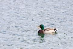A Mallard in the water. A Mallard in the water, a duck swimming on a lake Royalty Free Stock Image