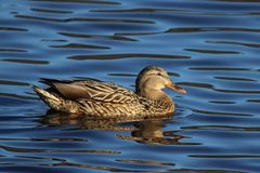 Mallard on the Water Royalty Free Stock Image
