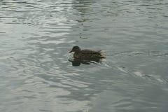 Mallard on the water. Mallard female swims on the water Stock Photos
