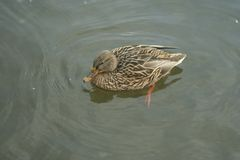 Mallard on the water. Mallard female swims on the water Stock Images