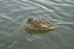 Mallard on the water. Mallard female swims on the water Stock Photo