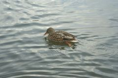 Mallard on the water. Mallard female swims on the water Royalty Free Stock Photography