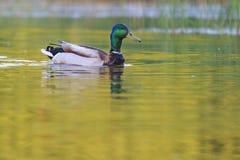 Mallard on water gold reflection Stock Image