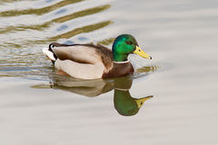Mallard On The Water Stock Images