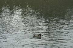 Mallard on the water. The mallard male swims on the water Royalty Free Stock Photo