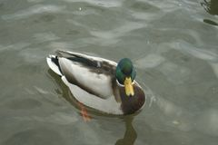 Mallard on the water. The mallard male swims on the water Stock Image
