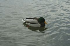 Mallard on the water. The mallard male swims on the water Royalty Free Stock Photos