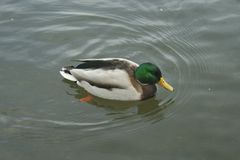 Mallard on the water. The mallard male swims on the water Royalty Free Stock Image