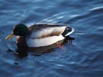 Mallard in the water. Mele mallard in a blue lake in Sweden Royalty Free Stock Photography