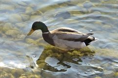 Mallard in water. Mallard who enjoys the water not too cold of winter Stock Image