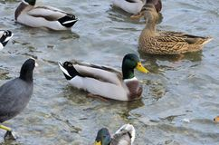 Mallard in the water. Mallard who enjoys the water not too cold of winter Royalty Free Stock Photos