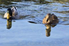 Mallard in the water. Mallard who enjoys the water not too cold of winter Stock Image