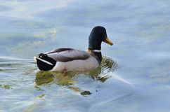 Mallard in the water. Mallard who enjoys the water not too cold of winter Stock Photography