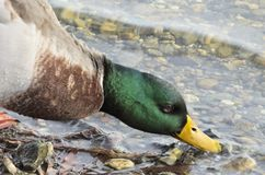 Mallard in water. Mallard who enjoys the water not too cold of winter Royalty Free Stock Photography