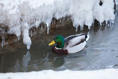 Mallard waterfowl swimming in small icy pond. Mallard waterfowl duck swimming in small icy pond Royalty Free Stock Image