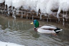 Mallard waterfowl swimming in small icy pond. Mallard waterfowl duck swimming in small icy pond Royalty Free Stock Photo