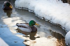 Mallard waterfowl swimming in small icy pond. Mallard waterfowl duck swimming in small icy pond Stock Photos