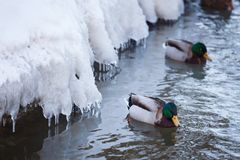 Mallard waterfowl swimming in small icy pond. Mallard waterfowl duck swimming in small icy pond Stock Photography