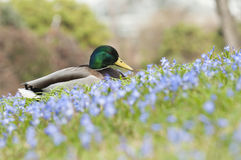 Mallard, wild duck (Anas platyrhynchos) Royalty Free Stock Photo
