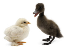 Mallard or wild duck, Anas platyrhynchos. A 3 week old dabbling duck and chick standing in front of white background Royalty Free Stock Images